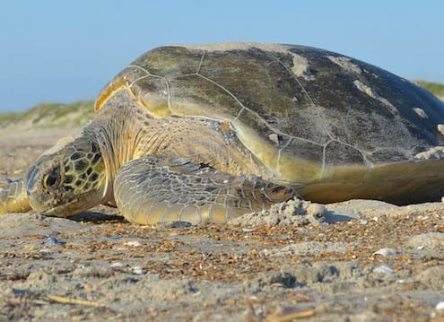 Learn About Sea Turtles With A Real NPS Ranger - Cape Hatteras Motel